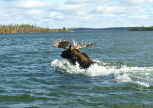 60-moose-swimming