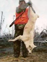 White wolf caught